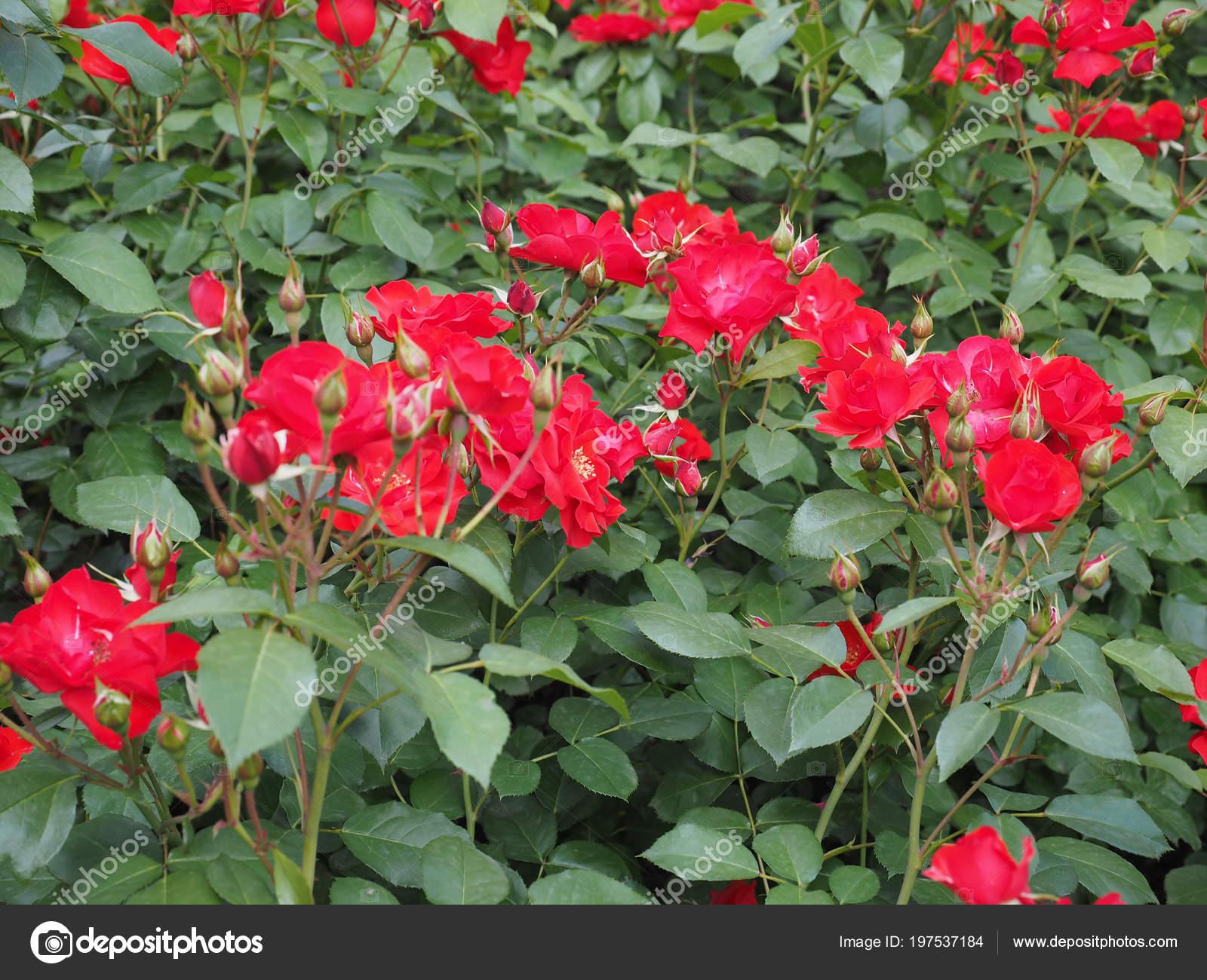 Fleur Fleur Arbuste Vivace Rose Rouge Genre Rosa Photographie