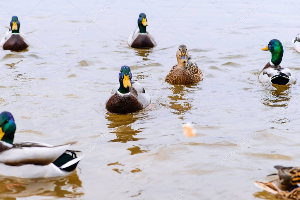 ducks floating in the water, feeding the ducks, bread in beak hu