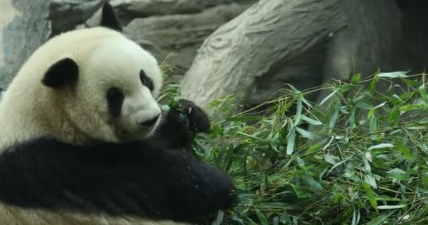 Panda Bear eating bamboo shoo