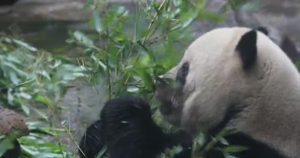 Panda medve eszik bambusz Sicc