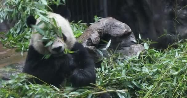 Panda Bear jíst bambus Kšá