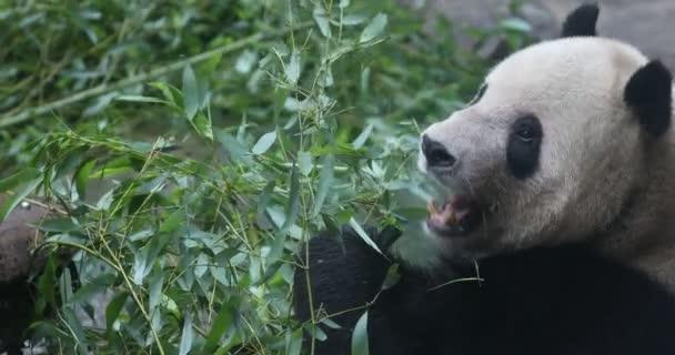 Panda Bear eating bamboo shoo