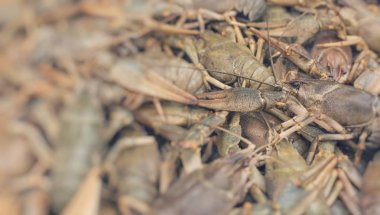 Crawfish. Cancer. Cooked crabs for food. Selective Focus.