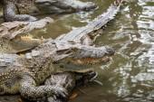Photo Portrait of many crocodiles at the farm in Vietnam, Asia.