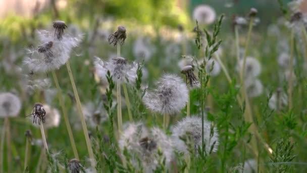 Licht und schöne Löwenzahn. Die hellen Strahlen der Sonne beleuchten die sanften, charmant die Schöpfung Gottes. Eine Luft-Blume. Wiese mit Löwenzahn. Weiße, zarte, zerbrechliche Blüten. Eine Menge von Löwenzahn. Weiße, zarte, zerbrechliche Blüten