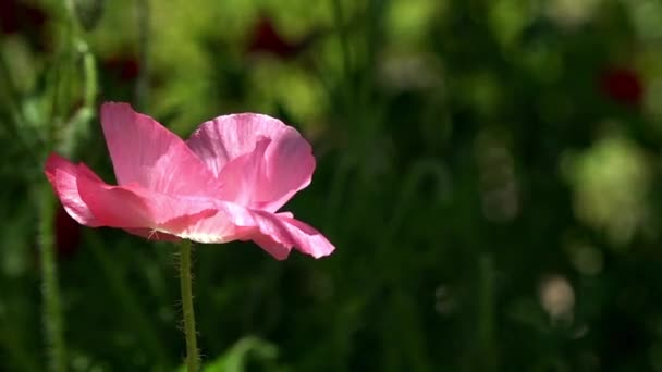 Poppy flowers moving in the wind. Purple, pink, different  poppy.Bright, juicy, May flowers.Poppy Idyll.A delicate flower.