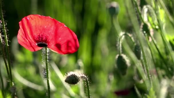 A bright red poppy, attracts bees.Attractive, bright, red color.In the garden blossom poppies.A delicate flower.Poppy buds blossom.In the sunlight, a beautiful creation.Poppy Idyll.