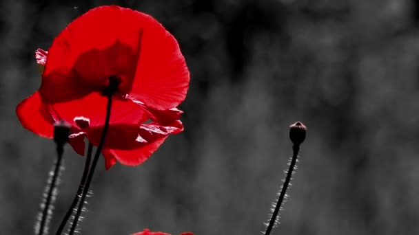 Red, tender, air, life-giving poppy. light Game.Poppy Rhapsody.Red and black background.inematic background.Blossoming red poppy. Poppy, gentle movements in the breeze. Delicate, red in the garden area. Poppy, textured front. Evening idyll.