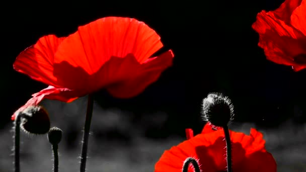 The artists view.Burning view.Fragile, delicate creature.Decor for the desktop.Creating a mood.Red and black background.inematic background.Blossoming poppies.Poppy flowers moving in the wind. Closeup of the poppy flowers in springtime.Lonely poppy.