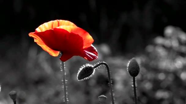 Pohled na umělce. Pohled na hořící. Křehká, jemná stvoření. Výzdoba pro plochu. Vytvoření náladu. Background.inematic červené a černé pozadí. Kvetoucí máky. Makové květy pohybující se ve větru. Closeup makových květů na jaře. Osamělý mák.