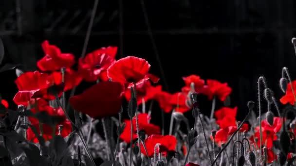 Vörös és fekete. Kontrasztos, piros szín, a fekete háttér. Piros pipacs a holdfényben. Éjszaka lövés a színek. Szép, szelíd, mező mák. Törékeny, finom lény. Nézd meg a művész. Természetes és szép.
