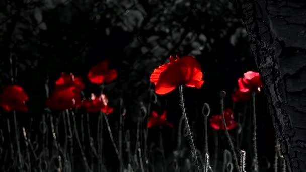Kontrasztos, piros szín, a fekete háttér. Mák Idyll.Night lövés a színek. Virágok a holdfényben. A mézelő méh leszállás egy virág lassított. A márka vérvörös.
