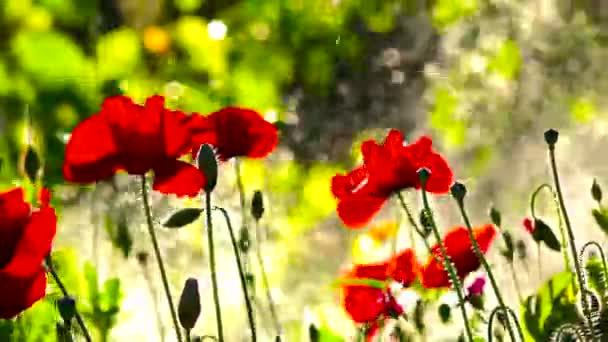 Water splashes in the background and poppies are comforted with pleasure..Poppies in the rainbow field environment.Bright background in poppy.Easy movement of poppies in a meadow.