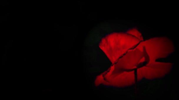 Dominantní červená. Noční snímání barev. Vlčí mák v měsíčním světle. Kontrastní, červená barva na černém pozadí. Květiny v měsíčním světle. Máky v měsíčním světle. Detail z máku za slunečného dne. Makové květy pohybující se ve větru.
