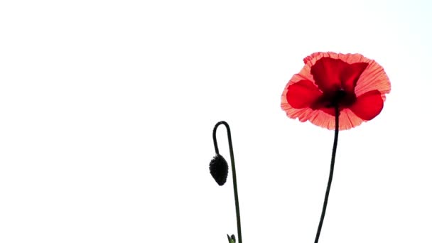 Red poppy on a white background.The bud buds sway.Transparent red in the poppy petals.Scenic poppy on a white background.A light wind blows the poppy bud.A meditative picture.