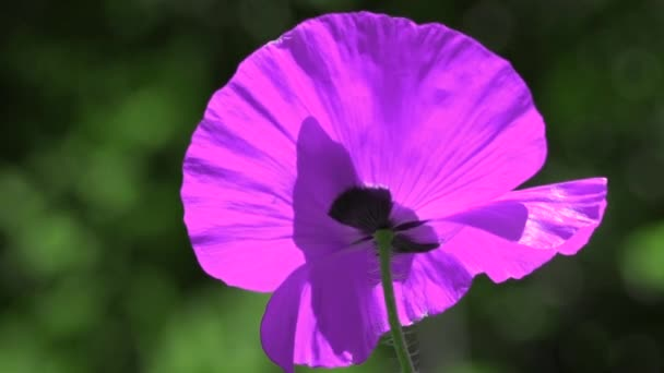 The dominant lilac.Contrast color in poppies.Lilac poppy on a green background.Easy movement of poppies in a meadow.A rare color of a blooming poppy