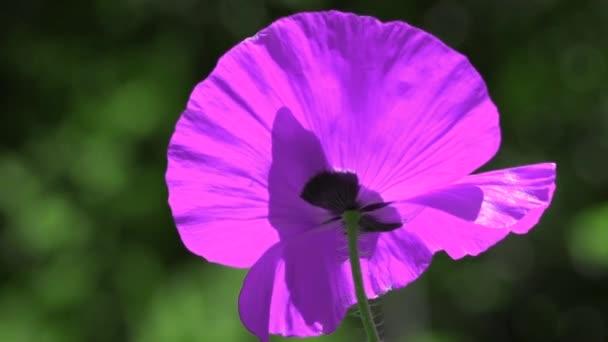 Dominantní lila. Kontrastní barva v máku. Lila máku na zeleném pozadí. Snadný pohyb mák na louce. Vzácná barva kvetoucí máku