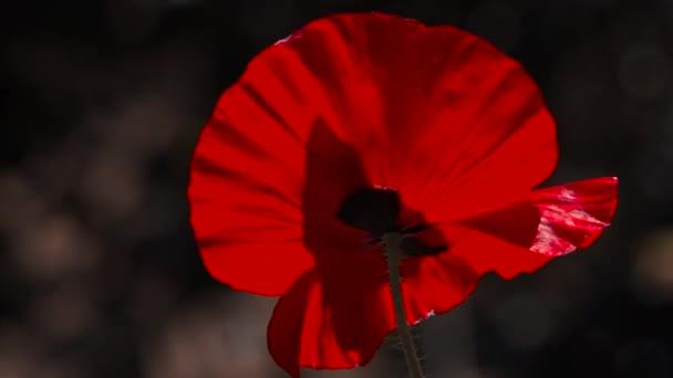 Velký červený mák. Lehký vítr žene máku. Květina je bez zápachu. Pěstování máku.