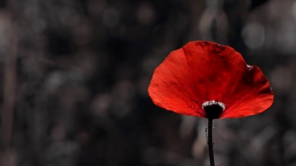 Pěstování máku. Velký červený mák s bílým okrajem. Lehký vítr žene máku. Květ je bez zápachu.
