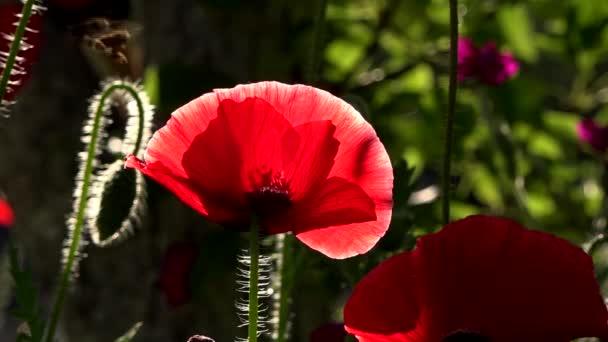 Máku trávník na slunci. Odraz světla v máku okvětní lístky. V zaměření makové květy. Pěstování máku. Meditativní obraz. Lehký vítr fouká máku bud. Transparentní červená v máku lístků.