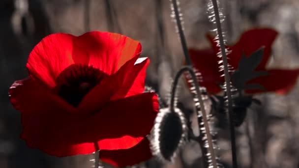 Egy nagy piros pipacs, fehér szegéllyel. A virág a szagtalan. Egy könnyű szellő vezet a mák. A virág a szagtalan. Styling a mák gyep. Mák idill