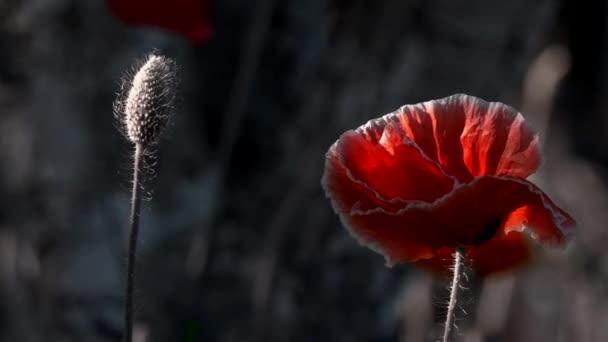 Mák termesztése. Egy könnyű szellő vezet a mák. A virág a szagtalan. Szép, szelíd, mező mák. Pipacsok stilizált képe. A varázslatos virágok a gyepen