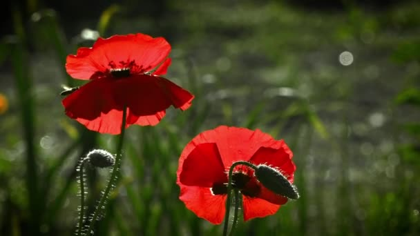 A bright red poppy, attracts bees.Bright, juicy, May flowers.Creating a mood.May contrasts. A delicate flower.On a green background, gentle, spring wild flowers.The boxes of the field poppy sway. in the wind.Beautiful, gentle, field poppy.