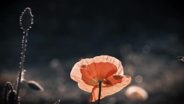 Oranžová barva mák. Neobvyklý barevný mák. Sluneční paprsky osvětlují makový květ. Máku trávník na slunci. Jemné plátky mák, osvětlena slunečním světlem. V zaměření makové květy. Velký červený mák s bílým okrajem. Květ je bez zápachu.
