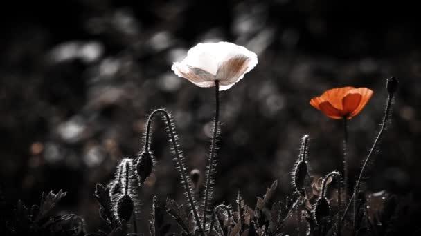 Sikeres kombinációja a színek. Pipacsok stilizált képe. A varázslatos virágok a gyepen. A mák szirmok visszaverése. Fókusz pipacs virágok. Fehér és piros pipacs a gyepen