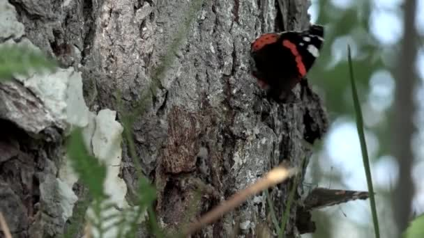 Butterflies in the sun.Flutter gentle creatures around the tree bark.Roll call butterflies.Two butterflies flit on the lawn.Monarch butterfly sitting on tree.HD closeup of beauty butterfly on tree.Red Admiral butterfly on tree.