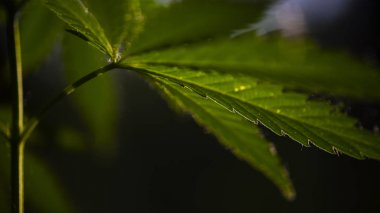 In the sun, hemp is swaying.Forest thickets.The backlit, evening light hemp leaves.Sun through leaves. A goblin is visiting.Green leaves glow in the sun.Green leaves glow in the sun.Large leaves.Fragment for advertising, medicinal herbs.