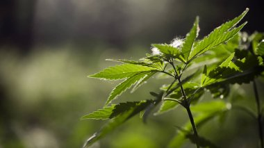 Openwork sheet of hemp.A branch of hemp in the sun.Medicinal herb of the southern region.A green, large sheet of cannabis.Forest Glade.A branch of hemp in the sun.The backlit, evening light hemp leaves.