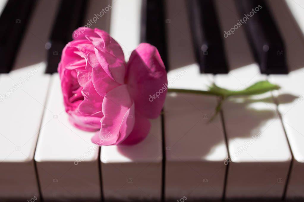 pink beautiful rose on piano keyboard. Music background