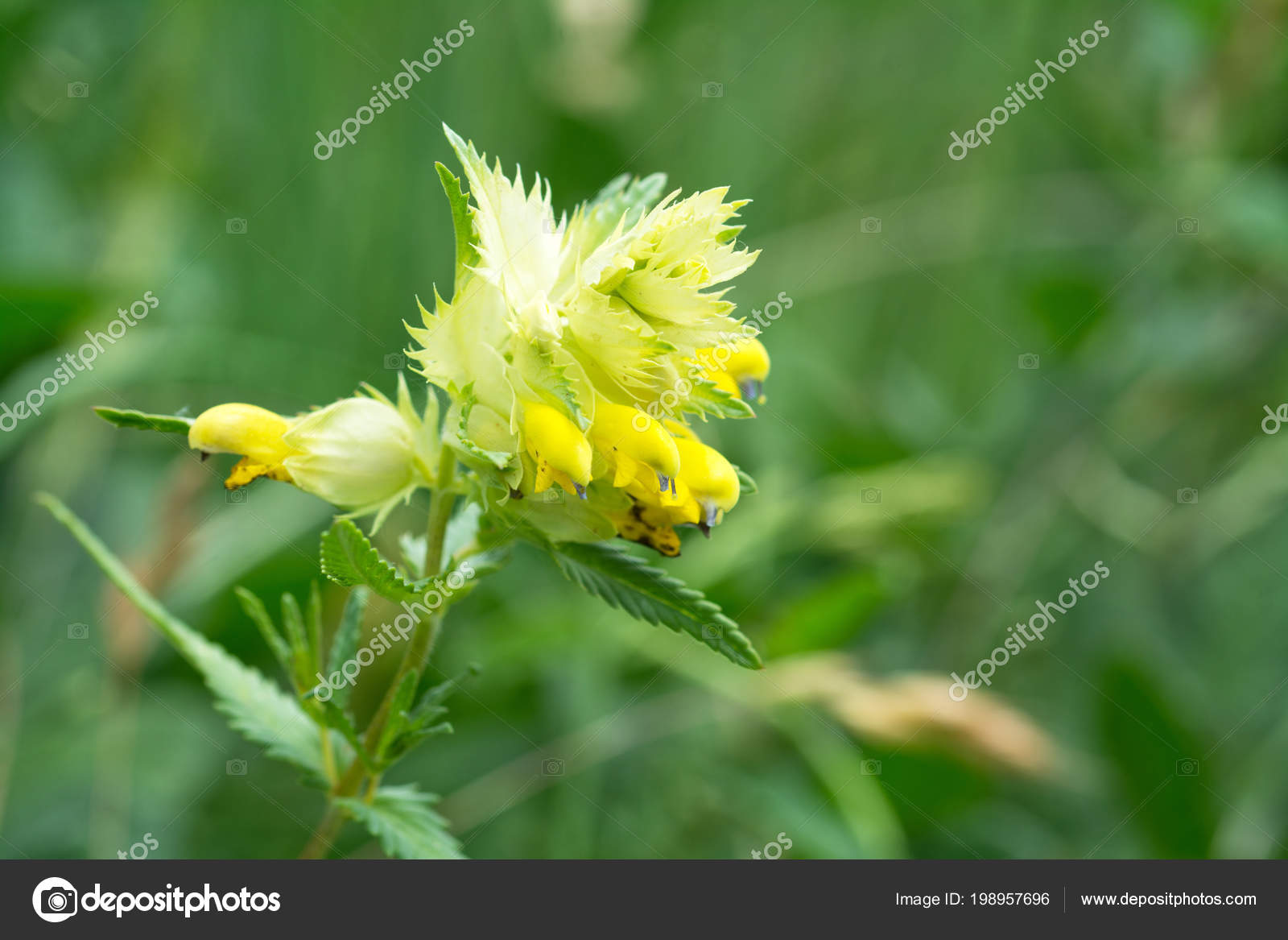 Greater yellow rattle flower blurred natural background stock greater yellow rattle flower blurred natural background stock photo mightylinksfo