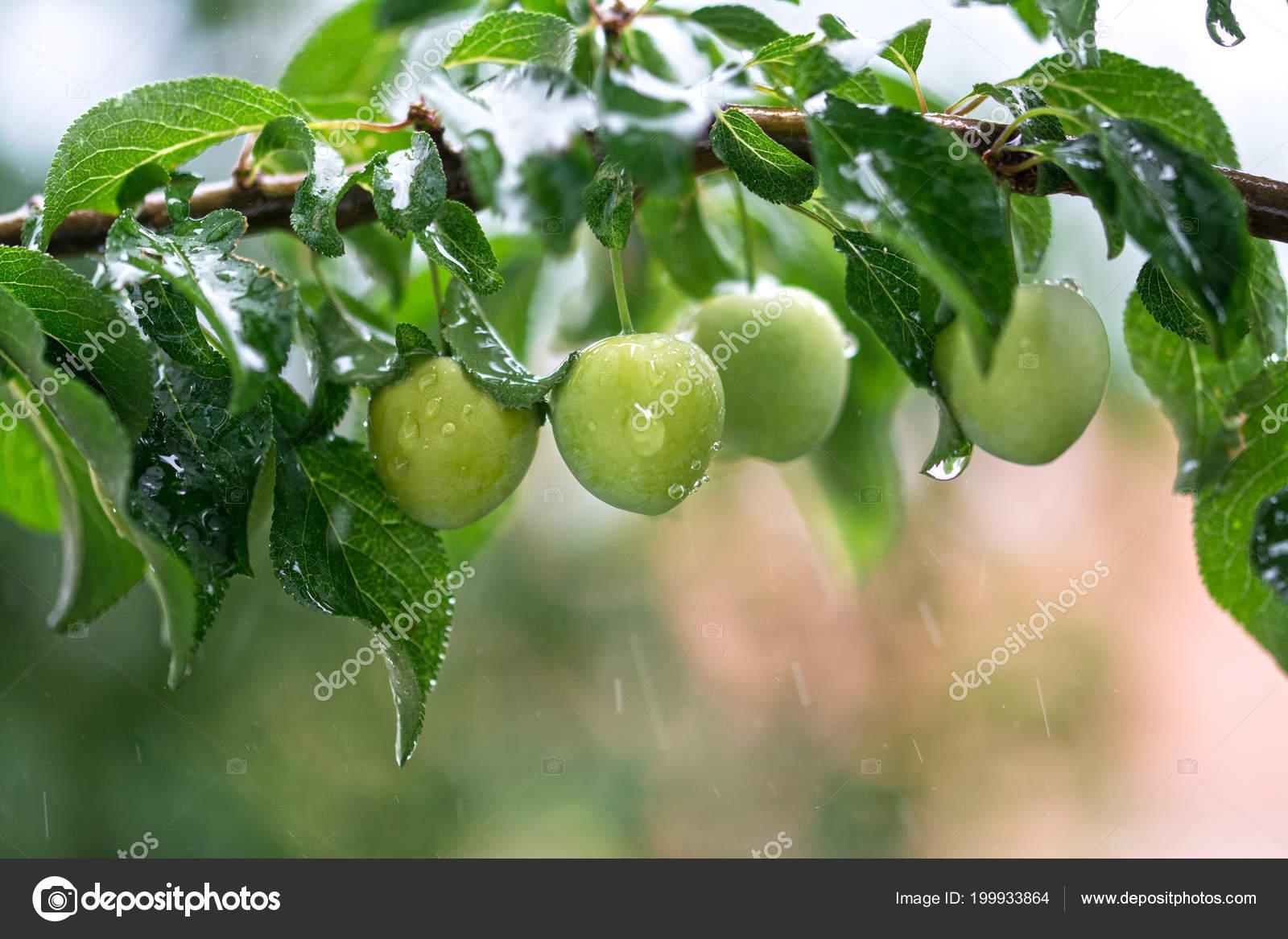 Yeşil Erik Suyu