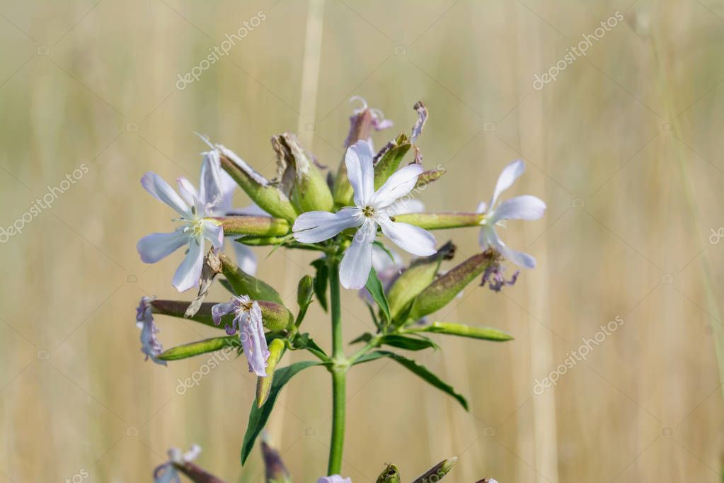 Common Soapwort flower head on blurred natural background
