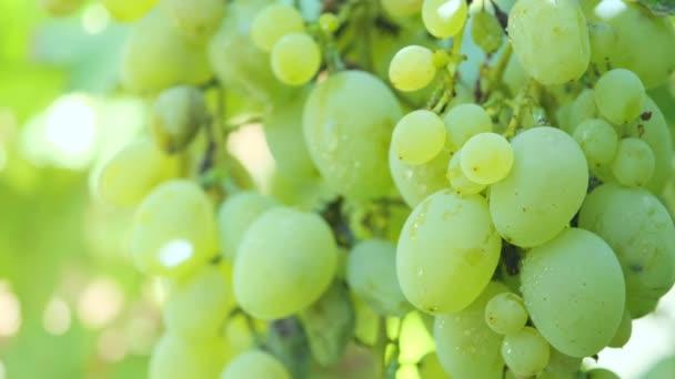 Fehér érett szőlő a kertben egy ágon lengő a szél