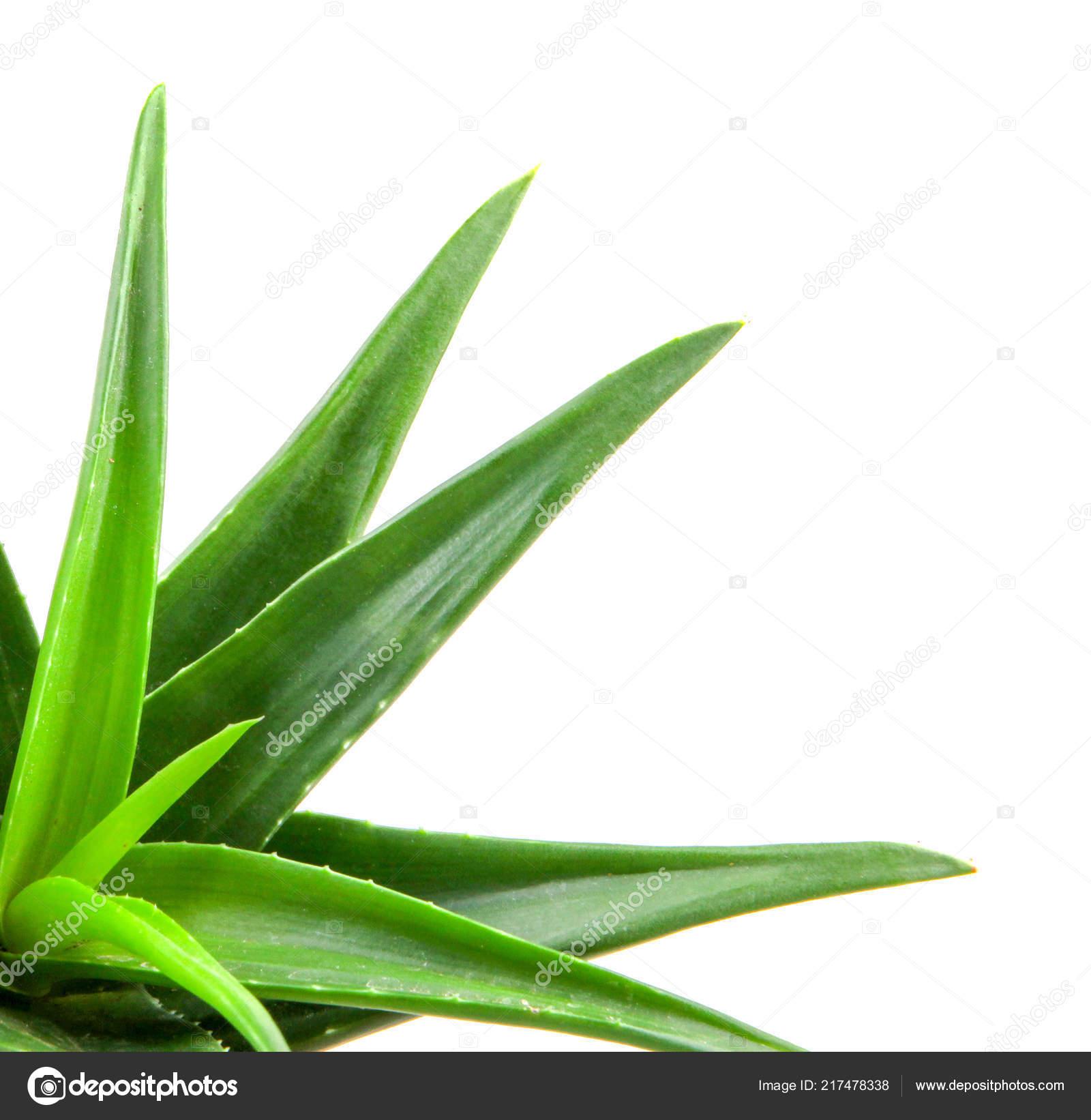 Image Plante Aloe Vera aloe vera plant isolated white background — stock photo