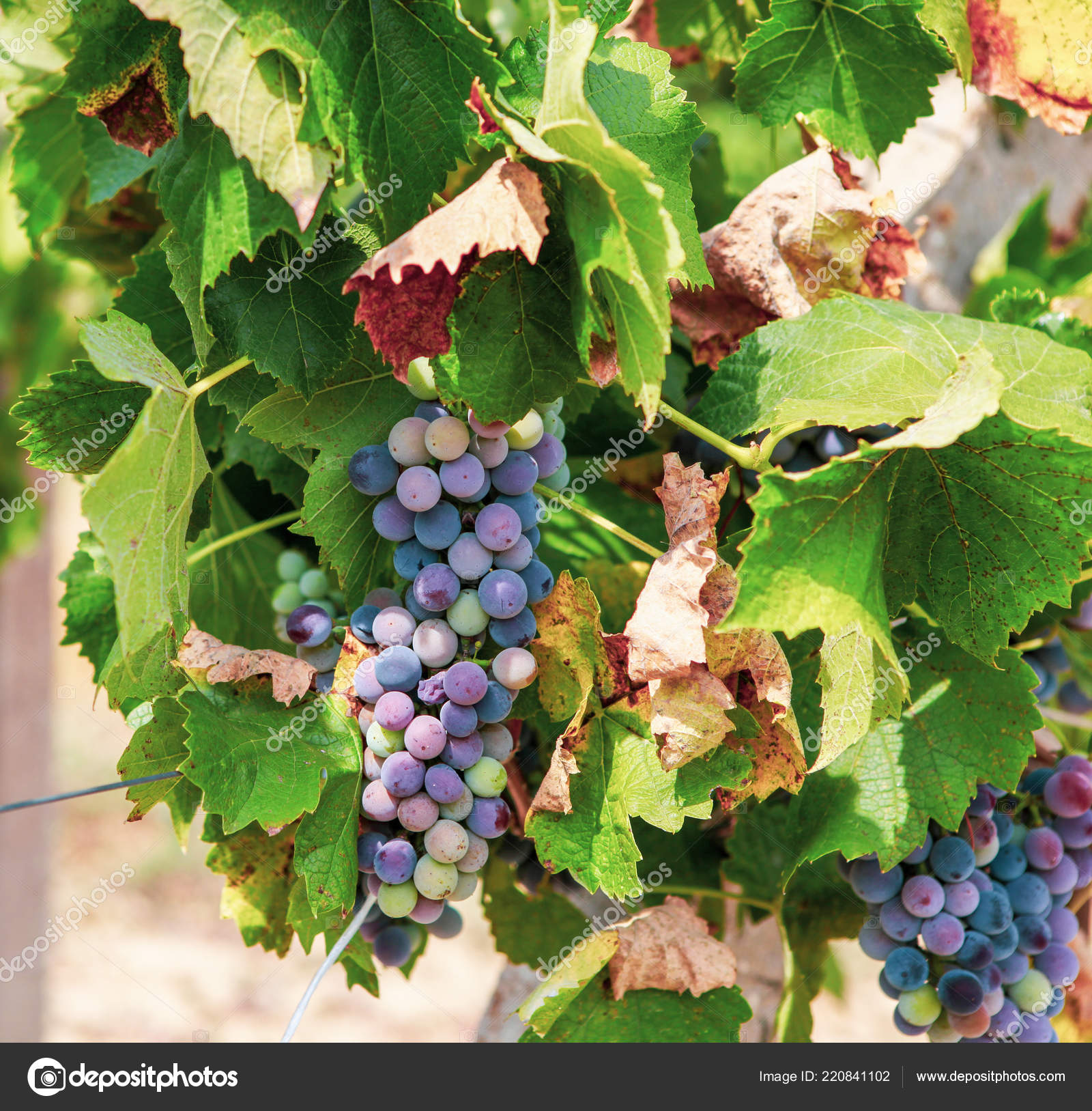 Ecologically Clean Grapes Production High Quality Wine Stock Photo C Nenovbrothers 220841102