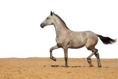 White and brown horse foal galloping on sand on a white background