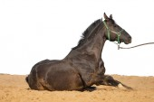 Fotografie Black and brown horse galloping on sand on a white background