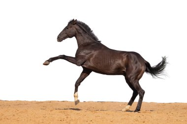 Black and brown horse galloping on sand on a white background