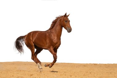 Brown and red horse galloping on sand on a white background, without people.