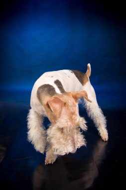 Fox Terrier animal in the studio