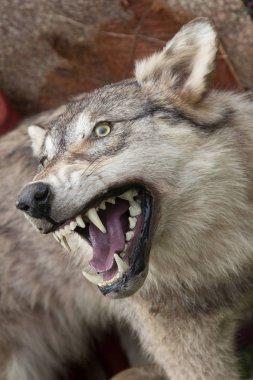 grey wolf animal  on background,close up