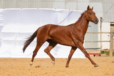 Brown Horse gallops through the sand into the pen, without people