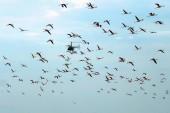 Vrtulník létá přes hejna plameňáků. Na pozadí modré oblohy. Natron Lake. Tanzanie. Afrika