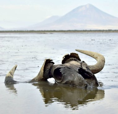 Skull of wildebeest in mud on shallow water. In the background is a volcano Langai. Lake Natron. Tanzania