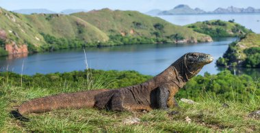 Komodo dragon in natural habitat. Scientific name: Varanus komodoensis. Natural background is Landscape of Island Rinca. Indonesia.