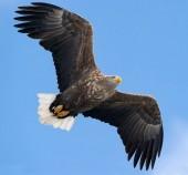 Adulto bianco munita Aquila in volo sopra il fondo del cielo blu. Nome scientifico: Haliaeetus albicilla, noto anche come il ern, erne, aquila grigia, Eurasian Aquila di mare e mare-aquila Bianco-munita